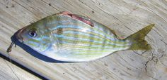 What better fish to feature on Pinterest than... a Pinfish! (Image Credit: Suzanne Smith). Learn more about this dockside favorite at http://betterknowafish.com/2013/07/02/pinfish-lagodon-rhomboides/