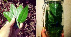 Kromě aroma mají bobkové listy také vlastnosti, které pomáhají při léčbě mnoha nemocí. Nálev z bobkového listu pomáhá při kloubech, bolestivých hrbolcích a očních patách. Bobkový list se také doporučuje při cukrovce, hubnutí a péči o vlasy. Bobkové listy v Polsku se pěstují v květináči. Je to trvalka, takže můžete po dlouhou dobu těžit z […] The post Bobkové listy: Budete překvapeni kolik cenných zdravotních vlastností mají appeared first on Příroda je lék. Eggplant, Celery, Korn, Benefit, Vegetables, Ale, Health, Plants, Diet