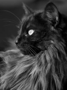 black smoke maine coon cat ~ Looks just like my Smokey