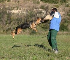 German shepherd facts present the animal lovers with the detail information about the breed of large shepherd dogs in the world. People use this animal to guide the blind people and for police work. Based on the name, you probably have guessed that this animal