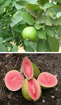 1000 images about fruit trees on pinterest exotic fruit yellow dragon fruit and banana growing - Fruit trees every type weather area ...