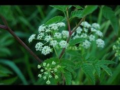 Poison Ivy and Water Hemlock - YouTube