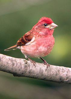 ˚Purple Finch