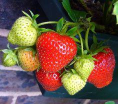 How to Grow Organic Strawberries Year-Round Indoors
