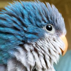 """""""This is our Quaker Parrot, Shrimp! She is absolutely the greatest pet ever,"""" says Sender-Inner Natalie. """"She loves to be on our shoulder as often as possible, enjoys road trips, raisins and peanut..."""