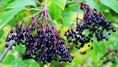 Fructele de soc reglează apetitul alimentar și activitatea psiho-emoțională. Datorită detoxifierii, inclusiv pielea se curăță și devine mai luminoasă, iar organismul întinerește.
