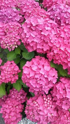 Butterfly Flowers, All Flowers, Flowers Nature, Exotic Flowers, Pretty Flowers, Beautiful Flowers Pictures, Flower Pictures, Amazing Flowers, Hortensia Hydrangea