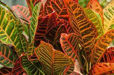 Kroton Plant Leaves, Plants, Inspiration, Biblical Inspiration, Plant, Inspirational, Planets, Inhalation