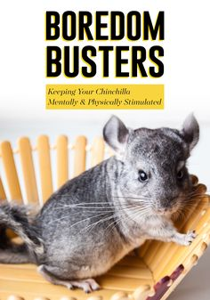 What's the right sized habitat? 🏠 Gerbils, hamsters and mice are small, but that doesn't mean their habitat size needs to be. Gerbil, Hamster and Mouse Habitat Size. Diy Chinchilla Toys, Chinchilla Care, Guinea Pig Toys, Guinea Pigs, Hammock Diy, Animals And Pets, Cute Animals, Hamster Habitat, Gerbil