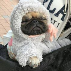 Explore our web site for additional relevant information on pugs. It is actually a superb location to read more. Cute Little Animals, Cute Funny Animals, Funny Dogs, Cute Baby Pugs, Cute Dogs And Puppies, Doggies, Black Pug Puppies, Bulldog Puppies, Tier Fotos