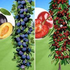 Super ofertă! Pomi columnari Deliciul fructelor, set de 2 soiuri | Most often bought GradinaMax Plants
