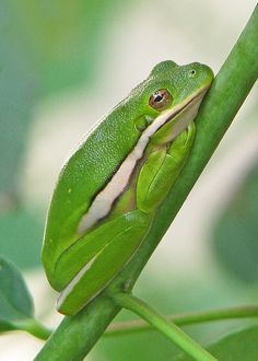 Green treefrog in the hibiscus