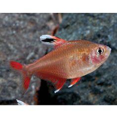 Blue emperor tetra inpaichthys kerri ph 5 5 7 0 76 80f for Petsmart live fish