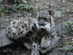 Snow Leopard by W+J Family, via Flickr                                                                                                                                                      More