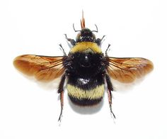 Bumble Bee – The Alameda County Beekeepers Association