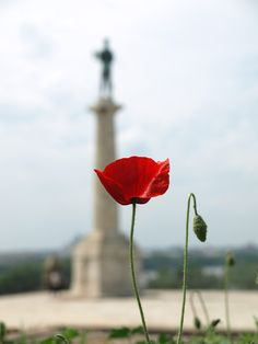 Reminds me of my childhood. Poppies (mak), Belgrade, Serbia A.D.(P.)