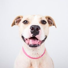 STATUS UNKNOWN - Nina - URGENT - located at Dekalb County Animal Shelter in Decatur, Georgia - 2 year old Am. Pit Bull Mix