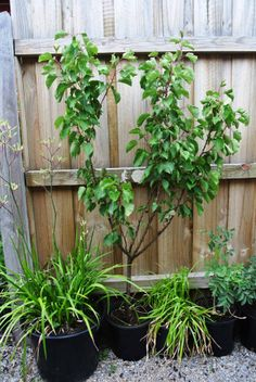 Kangaroo Paw on the lower left and then my amazing Apricot Tree :)