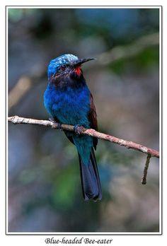 Blue-headed Bee-eater - Kakamega Forest Western Kenya | by Chris(C) & Sue (S) M-T
