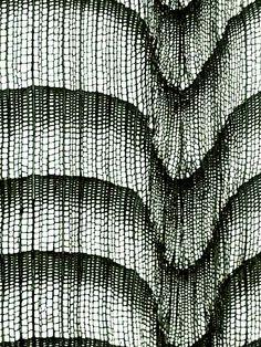 Abies alba / Sapin :: anatomie du bois microscopique.