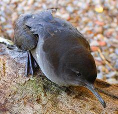 Siity Shearwater, Foto bobo-escuro (Puffinus griseus) por Eduardo Pimenta | Wiki Aves - A Enciclopédia das Aves do Brasil