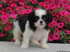 Chelsie, Cava Tzu puppy