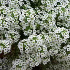 Grow Heirloom Alyssum - Plant Tall White Sweet Alyssum SeedsStill low growing by most garden and wildflower standards, Tall White Alyssum towers over its groundcover counterparts. Growing up to a foot tall, this variety is hardy and adaptable, growing quickly and easily in a range of different conditions.