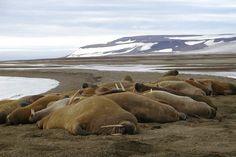 En observant cette colonie de morses paresseusement étendue sur le rivage, comment imaginer que ces animaux marins soient capables de parcourir jusqu'à 3 000 kilomètres ? Ils quittent alors la mer de Béring et l'océan Pacifique pour se rendre sur les côtes russes, près de l'Arctique et la mer des Tchouktche.