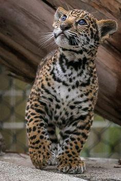 "Jaguar cub - ""Valerio"" by Bob Worthington"