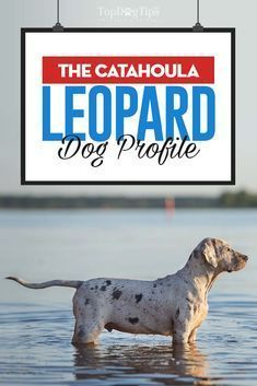 hey aren't the best city dwellers, but with the proper training and socialization these the Catahoula Leopard dog breed makes an excellent companion. Lousiana Catahoula Leopard Dog, Catahoula Cur, Dalmatian Dogs, Cute Dog Pictures, Dog Facts, Large Dog Breeds, Golden Retriever, Training Your Puppy, Medium Dogs