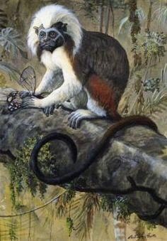 Cotton-Topped Tamarin - Louis Agassiz Fuertes - The Athenaeum
