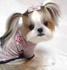 shorkie poo hair style ideas | Penteado Maria Chiquinha e cadelinha Shih Tzu