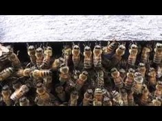 Honey Bees preparing to SWARM swarm interrupted, swarm cells, drones - YouTube