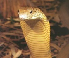 1000+ images about Ssssss! on Pinterest | Pit viper, Black mamba ...