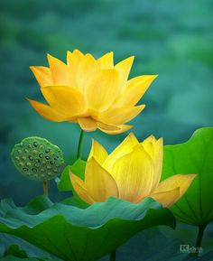 Blossom Garden - Paradise of Flowers! Water Flowers, Water Plants, Flowers Nature, Tropical Flowers, Lotus Flowers, Blossom Garden, Blossom Flower, Flower Art, Yellow Flowers