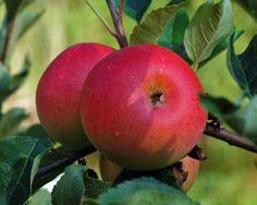 Discovery æbler, tidlig æblesort