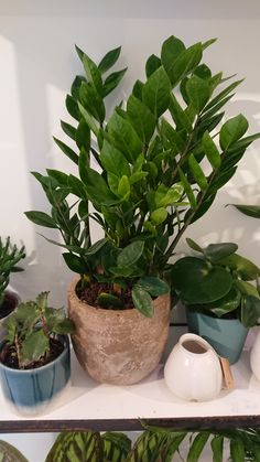 Zamioculcas Zamiifolia or the ZZ plant