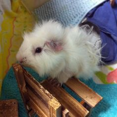 Cute #Mimmie ♡ #guineapig #cavy #モルモット