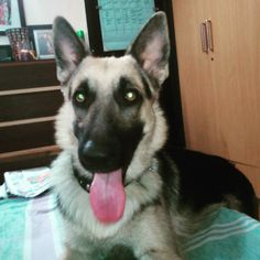 Delhi adoption! This stunner is Jumbo  a 1.5-year-old German Shepherd Dog. He is up for adoption because his owner is not able to give Jumbo the time and exercise he needs. Like all German Shepherds Jumbo is an excellent guard dog. He has never bitten anyone but yes he does not allow strangers in. He has not been socialized with other dogs so ideally a home in Delhi/NCR with lots of open space no other dogs no young children and someone who has experience in handling this and similar breeds…