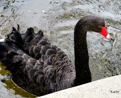 Un cisne negro (Parque del Capricho (Madrid)