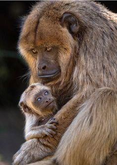 Primates, Mammals, Baby Animals, Funny Animals, Cute Animals, New World Monkey, Magnificent Beasts, Ape Monkey, Baboon