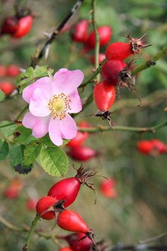Wild roses and rose hips