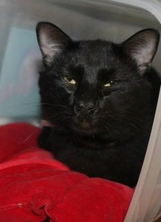 ADOPTED! Poe: Beautiful black kitty with the saddest face is out of time at SC shelter