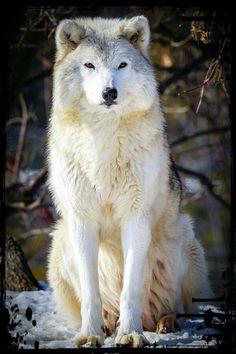 Le Loup,Un Animal fascinant ღღღ
