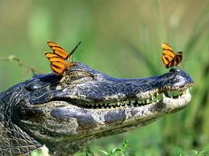All you can do sometimes in life is smile :) #reptile #butterfly
