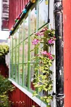 Fönstren är målade med grön linoljefärg och längsmed fasaden klättrar en vacker klematis.
