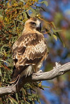 Little Eagle Hieraaetus morphnoides
