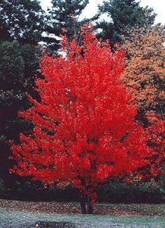 Gardening Guides - Acer griseum, Paperbark maple