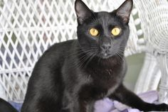 Delilah is a beautiful, sweet little cat. If you have been looking for a darling kitty companion who will be happy to see you when you come home, but also knows how to entertain herself, Delilah is your girl! Come meet Delilah today! Click for more photos and information on Delilah.