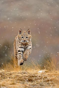 Bobcat in the first snowfall of the season